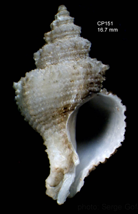Babelomurex atlantidis Oliverio & Gofas, 2006Specimen from Great Meteor seamount, 30°11.9'N, 28°24.6'W, 585 m, 'Seamount 2' CP151 (actual size 16.7 mm)