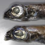 Argentinidae sp.