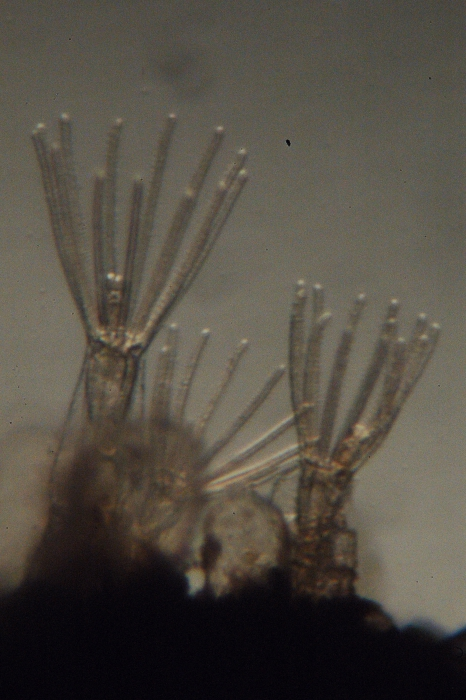 Arachnidium fibrosum