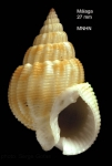Nassarius denticulatus (Adams A., 1852)Specimen from off Malaga, southern Spain  (actual size 27.7 mm)
