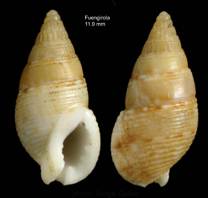 Nassarius recidivus (von Martens, 1876)Specimen from off Fuengirola, southern Spain (actual size 11.9 mm)