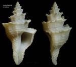 Babelomurex sentix (Bayer, 1971)Specimen from Irving seamount, 32°03.9'N, 27°53.9'W, 790 m, 'Seamount 2' DW208 (actual size 29 mm)