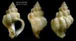 <i>Coralliophila aedonia</i>(Watson, 1885)</b>Specimen from Hyères seamount, 31°24.4'N, 28°52.3'W, 705 m, 'Seamount 2' DW184 (actual size 20.0 mm)