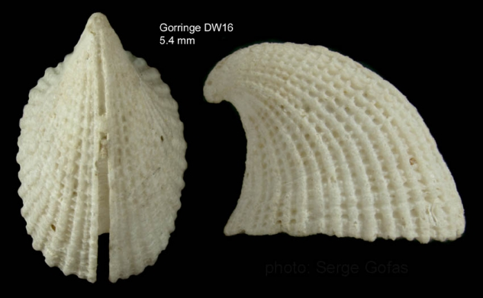 Emarginula rosea Bell, 1824Shell from Gorringe seamount, 36°31'N, 11°32'W, 255-265 m, 'Seamount 1' DW16 (actual size 5.4 mm)