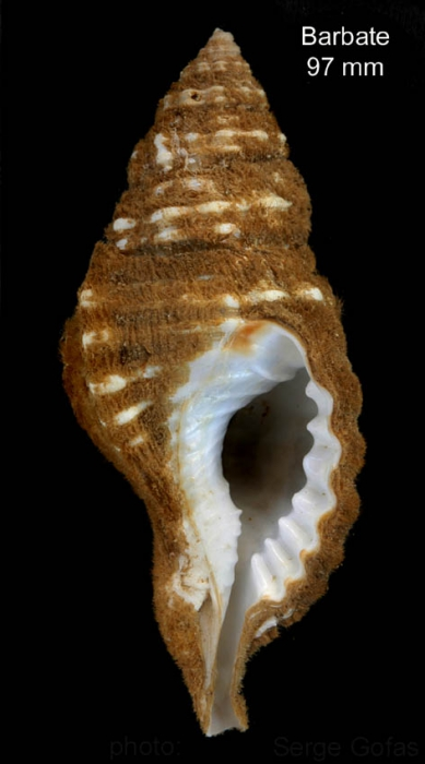 Monoplex corrugatus (Lamarck, 1816) Shell from off Barbate, southern Spain, 20-25 m (actual size 97 mm)