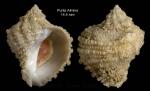 <i>Coralliophila brevis</i>(de Blainville, 1832)</b>Specimen from off Punta Almina, Ceuta, Strait of Gibraltar, 32-40 m (actual size 14.4 mm)