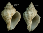 Coralliophila brevis(de Blainville, 1832)Shells from Ampre seamount, CP99, 3504'N - 1255'W, 225-280 m, 'Seamount 1' CP99 (actual size 14.47 and 15.2  mm)