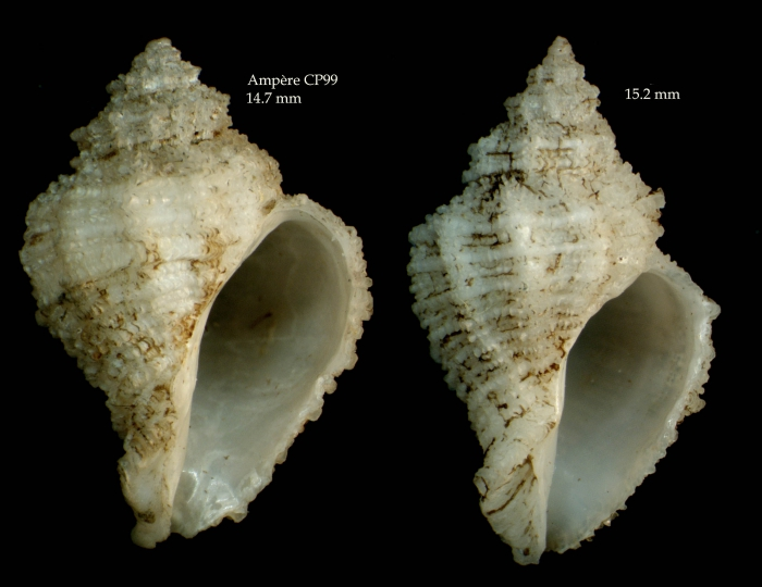Coralliophila brevis(de Blainville, 1832)Shells from Ampère seamount, CP99, 35°04'N - 12°55'W, 225-280 m, 'Seamount 1' CP99 (actual size 14.47 and 15.2  mm)