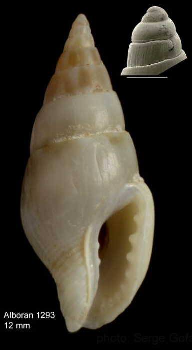 Mitrella pallaryi  (Dautzenberg, 1927)Specimen from off Alboran island (height 12.0 mm), and protoconch of a specimen from off Stihat, northern Morocco (scale bar 0.5 mm)