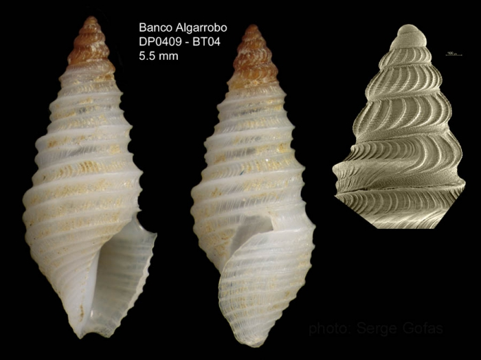 Drilliola loprestiana (Calcara, 1841)Specimen from Djibouti banks, Alboran Sea (actual size 5.5 mm) and detail of protoconch under SEM