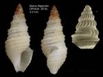 <i>Drilliola loprestiana</i> (Calcara, 1841)</b>Specimen from Djibouti banks, Alboran Sea (actual size 5.5 mm) and detail of protoconch under SEM