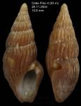 Crassopleura maravignae (Bivona, 1838)Specimen from off Cabo Pino, Málaga province, southern Spain (actual size 10,6 mm)
