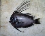 Manefish