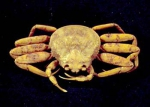 Chionoecetes opilio female