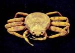 Chionoecetes opilio female