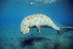 Dugong dugon, Australia, (c) Doug Perrine, seapics.com