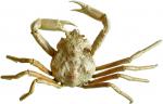 Hyas coarctatus - dried