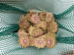 Strongylocentrotus droebachiensis - catch of common green urchins