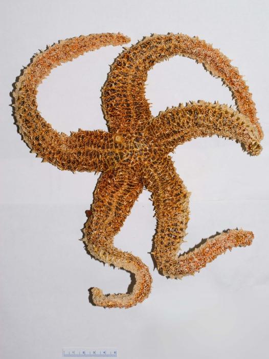 Urasterias lincki-dried