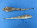 Ulcina olrikii, Arctic alligatorfish