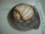 Euspira heros - moon snail (large)