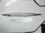 Arctozenus risso - white barracudina