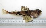 Gymnocanthus tricuspis
