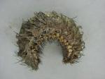 Aphroditella hastata - sea mouse (polychaete)