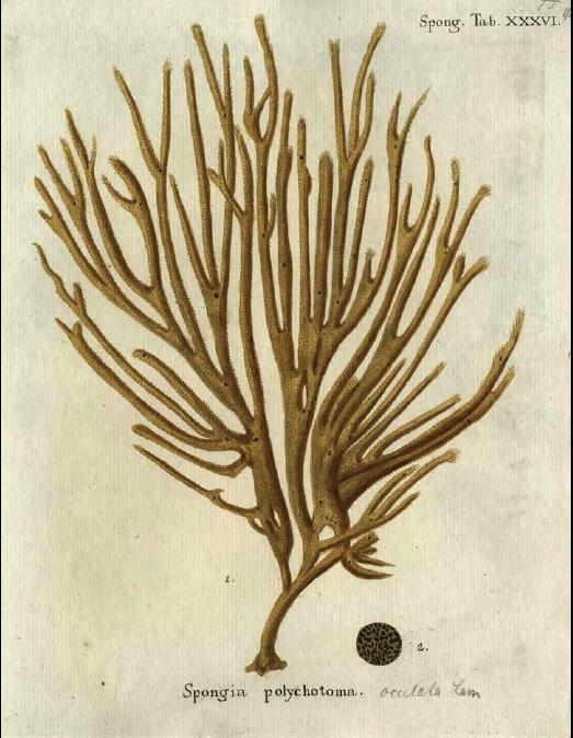 Spongia polychotoma Esper, 1794