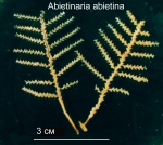Abietinaria abietina