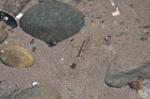 Crangon septemspinosa, sand shrimp
