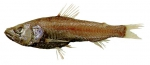 Neoscopelus macrolepidotus
