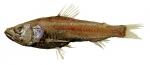 Neoscopelus macrolepidotus