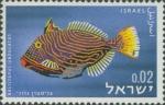 Balistapus undulatus