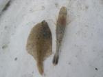 Crangon crangon and  Pleuronectes platessa