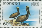 Pelecanus occidentalis