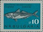 Trachurus mediterraneus
