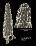 <i>Trituba anelpistos</i></b> (Bouchet &amp; Fechter, 1981)Shell from Hyères seamount, 31°30.0'N - 28°59.5'W, 310 m, 'Seamount 2' DW188 (actual size 4.3 mm) Scale bar for protoconch 500 µm.