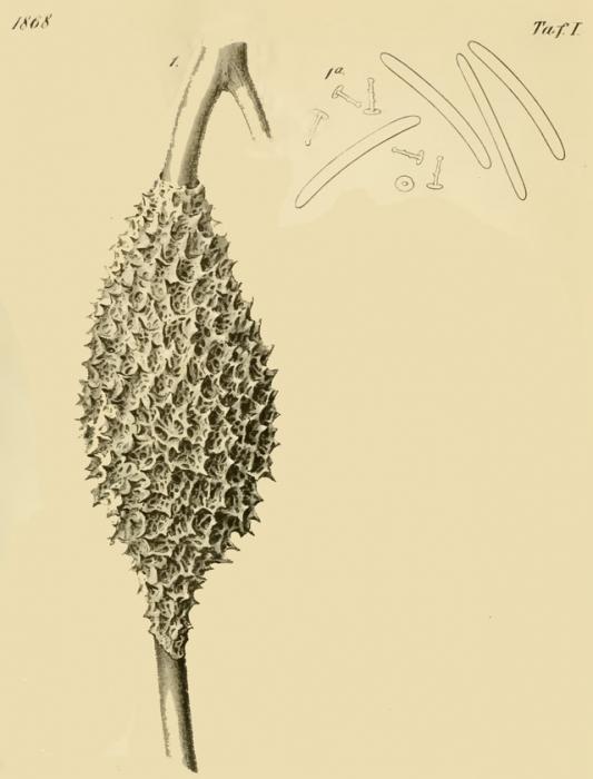 Metania vesparium