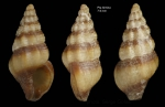 <i>Chauvetia taeniata</i></b> Gofas &amp; Oliver, 2010Holotype (live-taken specimen) from off Punta Almina, Ceuta, Strait of Gibraltar (35º54.1'N, 05º16.5'W, 25-40 m), actual size 7.9 mm