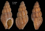 Chauvetia maroccana Gofas & Oliver, 2010Holotype (live-taken specimen) from El Jadida, Morocco (33º15.1'N, 08º29.7'W, intertidal), actual size 4.2 mm