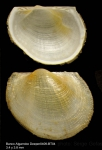 Bathyarca pectunculoides (Scacchi, 1835)Right valve (above) and left valve (below) from Djibouti banks, Alboran Sea,  349-365 m (actual size 3,8 mm mm)