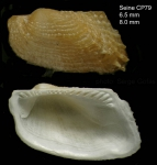 Asperarca nodulosa (Mller, 1776)Specimen and inside of right valve from Seine seamount, 3349'N - 1423'W, 242-260 m,  'Seamount 1' CP79 (actual size 6.5 and 8 mm)