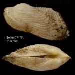 <i>Asperarca nodulosa</i></b> (Müller, 1776)Specimen from Seine seamount, 33°49'N - 14°23'W, 242-260 m,  'Seamount 1' CP79 (actual size 11.5 mm)
