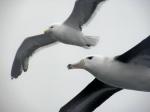 Young Black-browed Albatross and Kelp Gull, South Atlantic Ocean