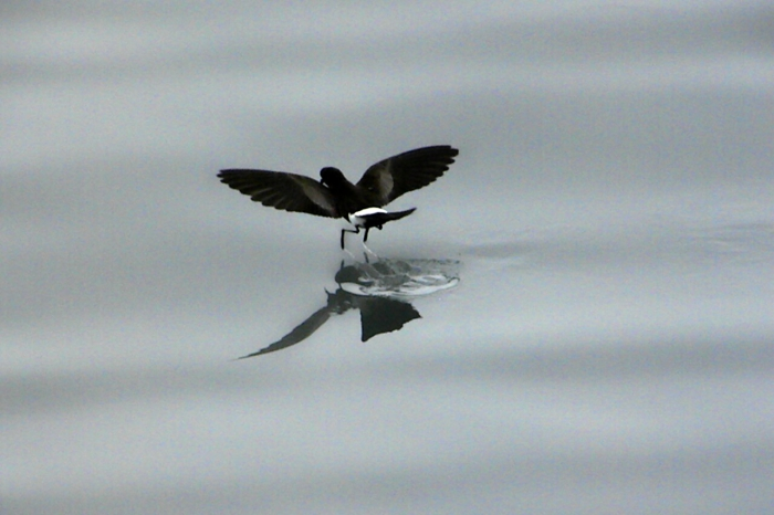 Wilson's Storm Petrel on South Shetland Is.
