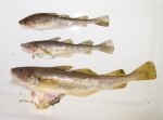Microgadus tomcod - Atlantic tomcod