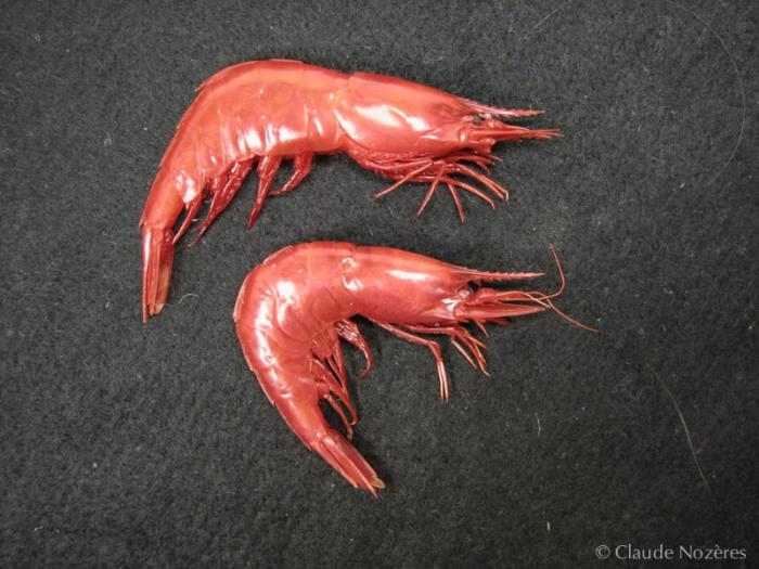 Acanthephyra - pair of scarlet shrimps