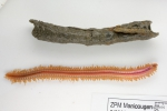 Enipo gracilis