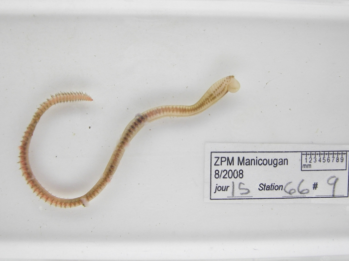 Nephtys ciliata
